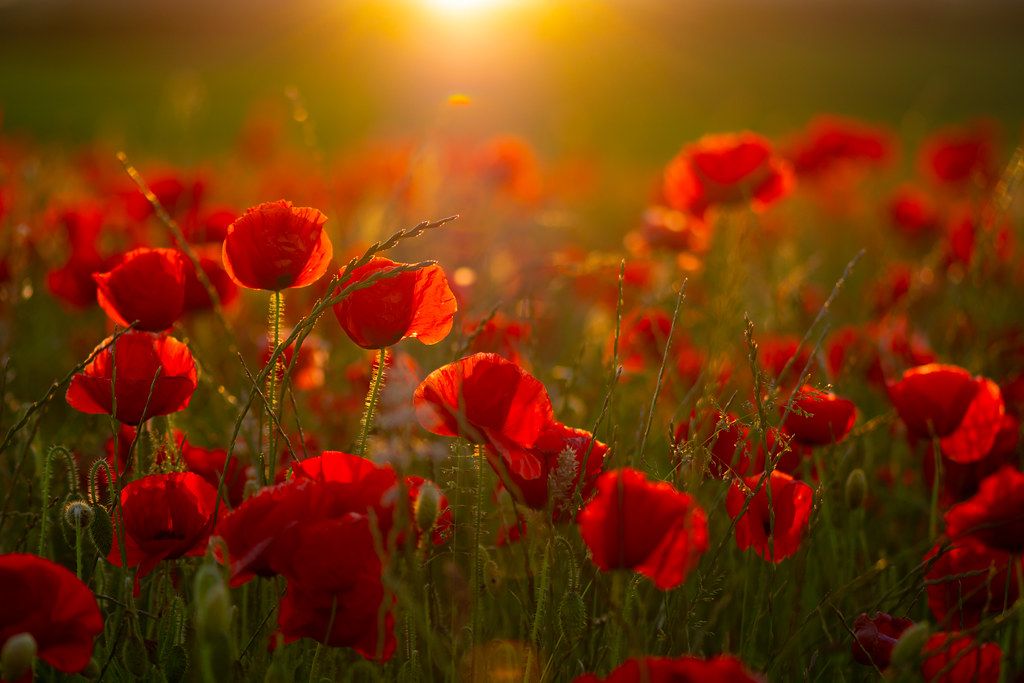 A filed of poppies at sunset